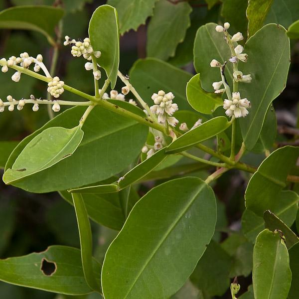 Laguncularia racemosa 4