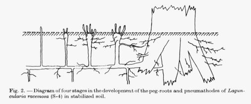 laguncularia root system
