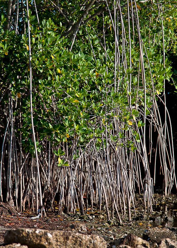 Rhizophora mangle 1