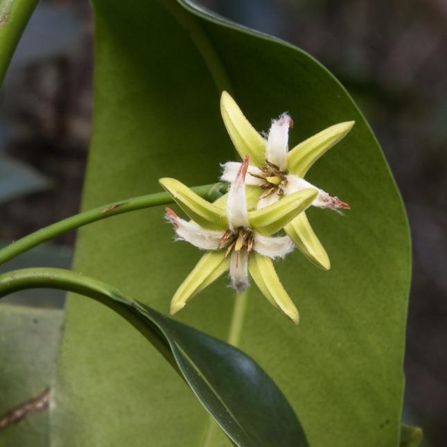Rhizophora mangle 13