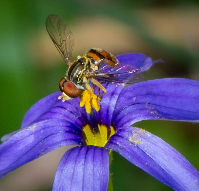 _DSC9948Toxomerus geminatus-Sisyrinchium angustifolia Duette Lampkin