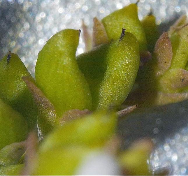 mitreola fruit - Copy