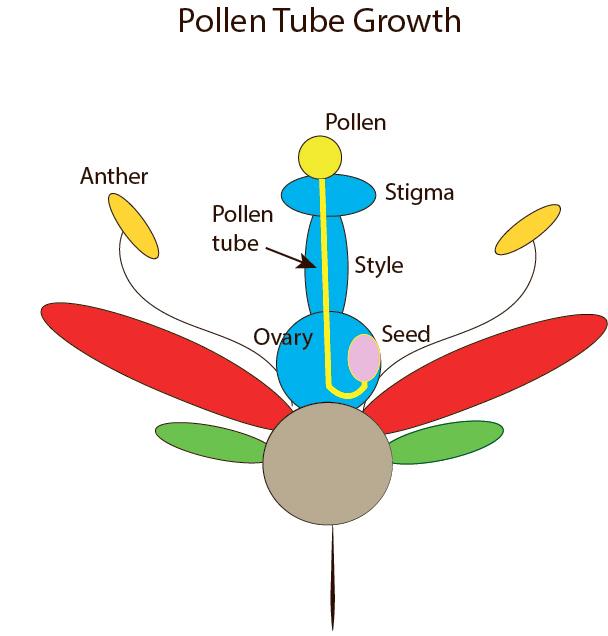 pollen tube diagram2