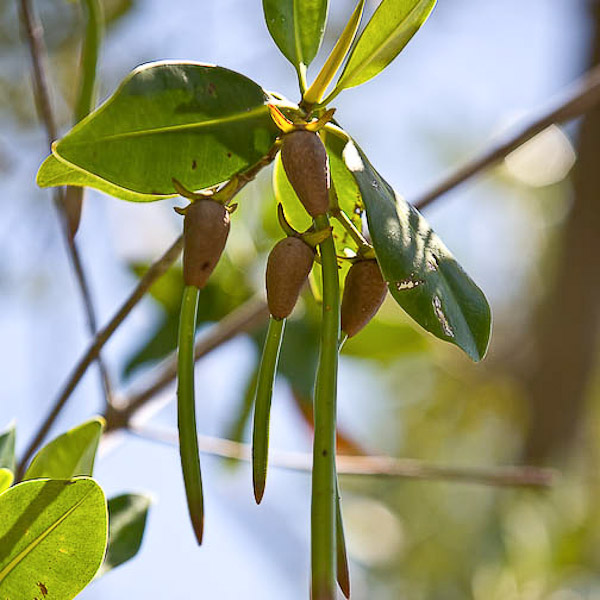 Rhizophora mangle 6