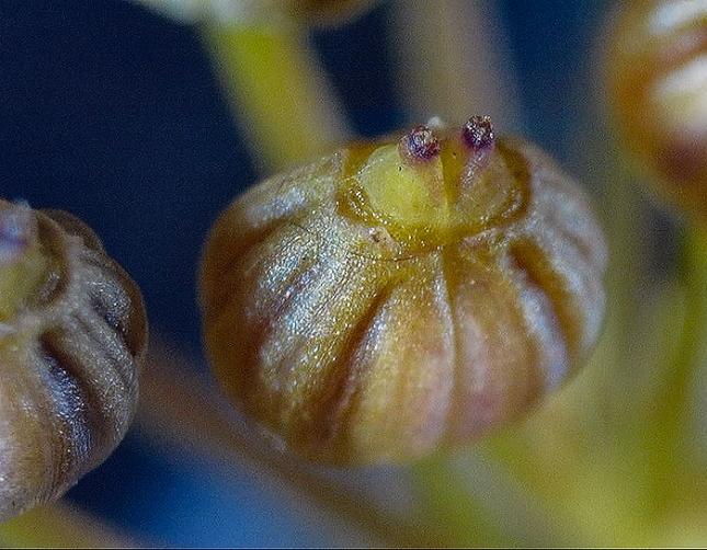 ptilimnium fruit close