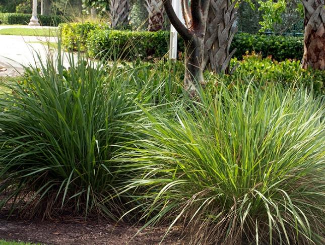 Fakahatchee Grass Clumps