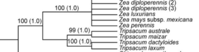 tripsacum zea cladogranm by