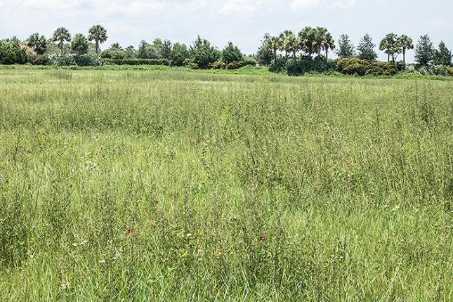 Panicum repens Aschynomene meadow