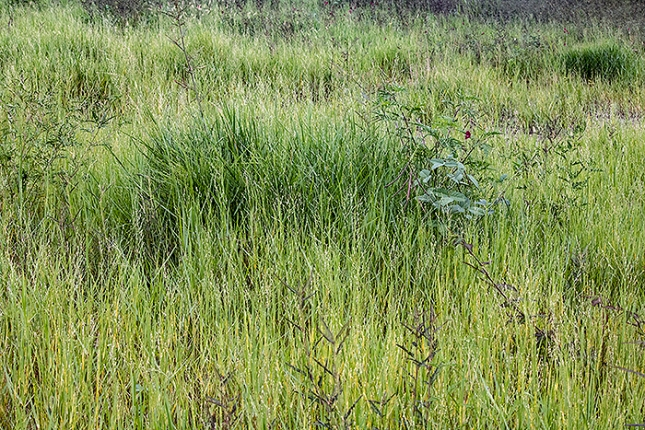 panicum repens on ant mound