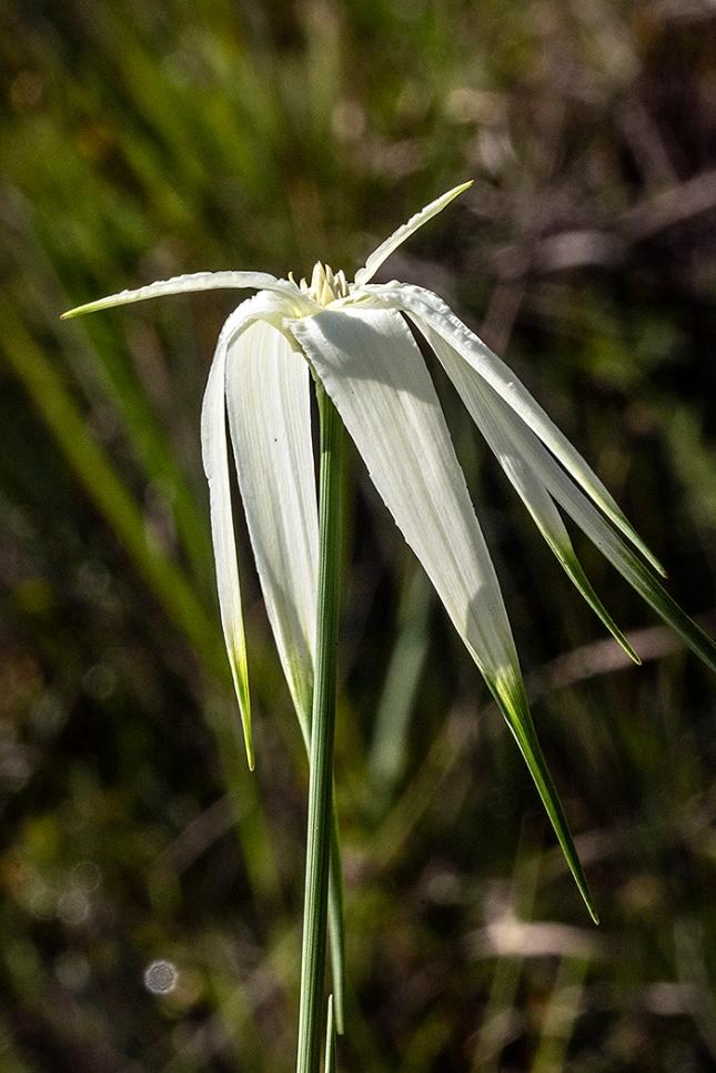 rhyn lat flower head