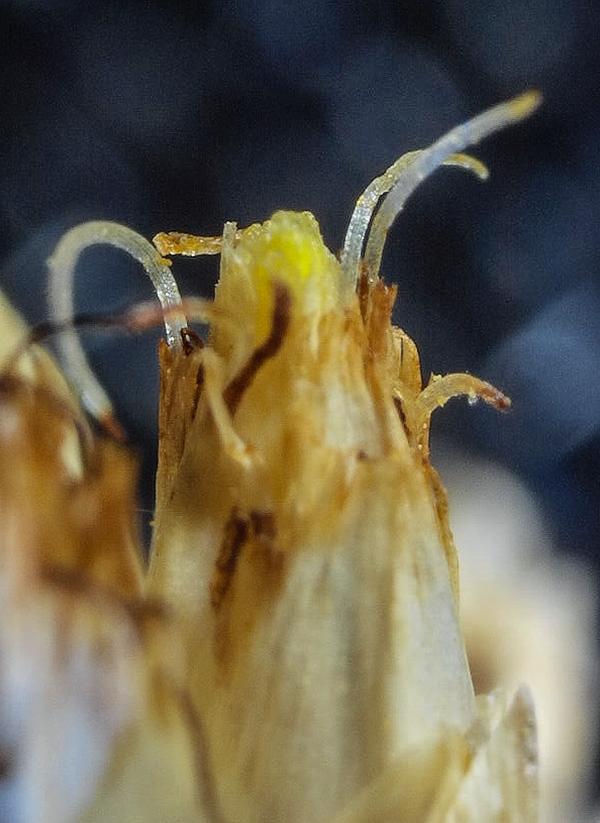 Rhynchospora latifolia anther tips and good stigmas 731AM 2