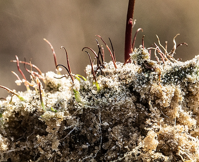 utricularia cornuta snorkel stems 1
