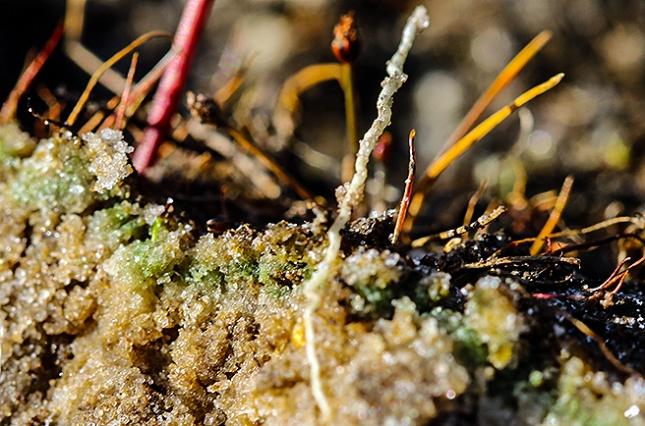 utricularia gtreen band