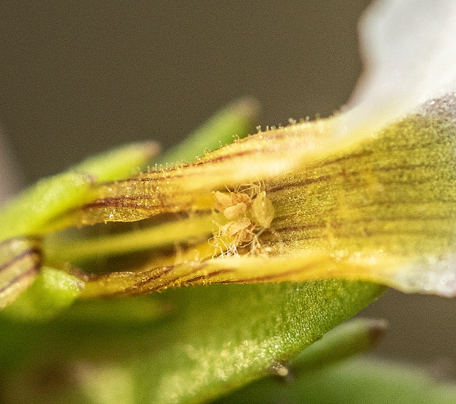 Gratiola stamens in fuzz1