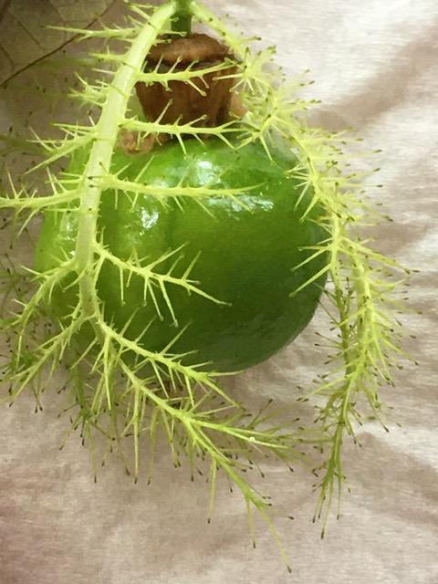 passiflora bracts wb